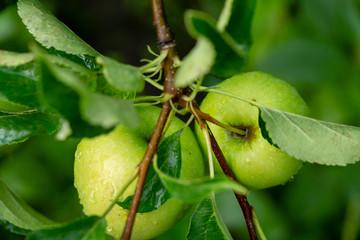 Apple tree afret rain, nature