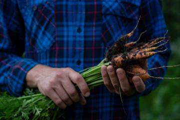 Organic carrots in hands