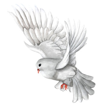 Watercolor illustration of white pigeon