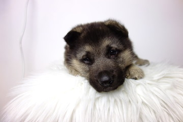 german shepherd puppy of 5 weeks on white background