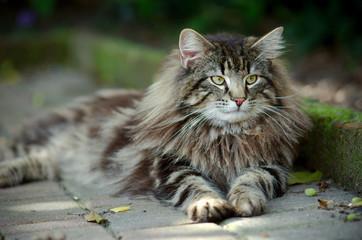 portrait of a tabby norwegian forest cat relaxing in the garden