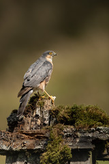 Wall Mural - Sparrow Hawk perched on moss covered post with brown and green background.