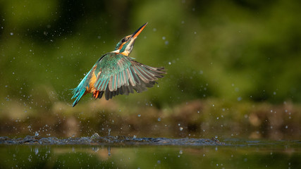 Wall Mural - Female Kingfisher emerging from the water with a green and brown blurred background.