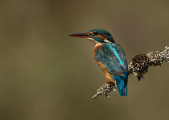 Canvas Print - Female Kingfisher perched on a branch with a green and brown blurred background.