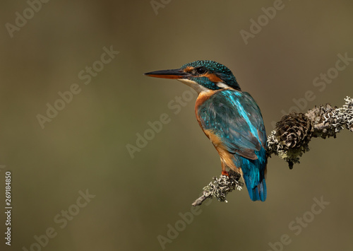 Wall mural Female Kingfisher perched on a branch with a green and brown blurred background.