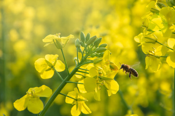 Bee with rape flower in the spring - rapeseed honey