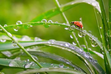 Fototapeta Ladybug on grass in summer in the field close-up obraz