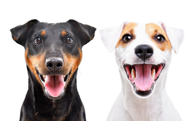 Portrait of funny dog breed Jagdterrier and Jack Russell Terrier isolated on white background