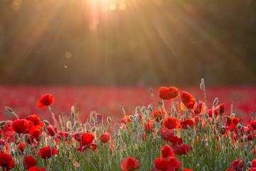 Poster Poppy Coquelicots sous le soleil couchant