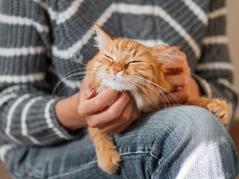 Cute ginger cat dozing on woman knees. Woman in jeans stroking her fluffy pet. Cozy home.