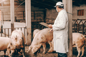 Veterinarian in white coat, hat and protective mask on face holding clipboard and checking on pigs while standing in cote.