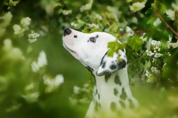 Dalmatian puppy sitting under a hawthorn