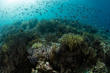 Wall Mural - Fragile corals and schooling fish thrive on an underwater slope in Komodo National Park, Indonesia. This tropical area is known for its high marine biodiversity.