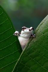 Beautiful amazon milk frog on green leaves, Panda Bear Tree Frog, Trachycephalus resinifictrix