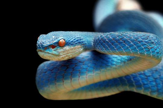 Blue viper snake closeup, blue insularis