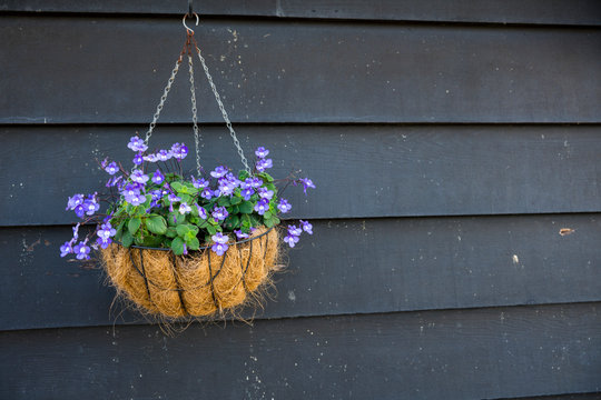 purple lobelia flower in hanging basket against black wooden wall. Space for text