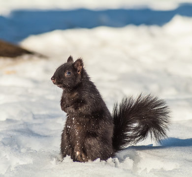 Black squirrel on the snow