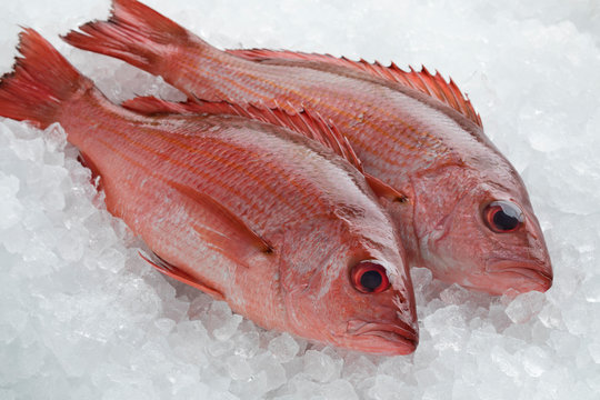 Two Northern red snappers on ice