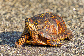 Eastern Box Turtle crossing a road
