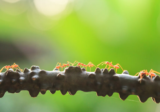 A colony of Green Ants having a conversation on a vine.