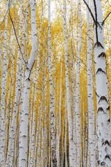 Birch tree forest view