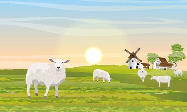 A herd of fluffy white sheep on the meadow. Countryside in summer. Mill, barn and house with garden. Outbuildings. Green field. Vector Landscape