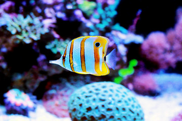 Chelmon copperband butterfly fish in reef aquarium