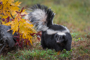 Wall Mural - Striped Skunk (Mephitis mephitis) Turns Left Tail Up Autumn