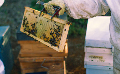 bees and hive whit honey