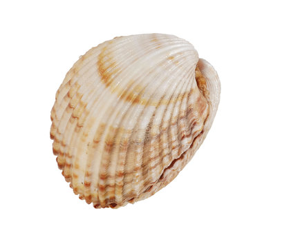 Shell on white background, isolated, closeup