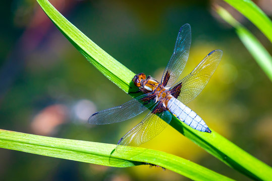 Emperor Dragonfly or Anax imperator sitting on green leaf