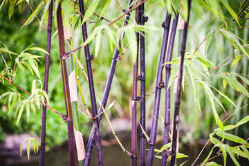 Black bamboo tree natural growing in the garden park