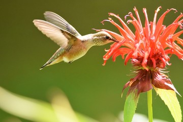 A Rufous Hummingbird flying in the air.  close-up Burnaby lake BC Canada