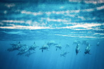 dolphin school swimming in blue water straight ahead 1