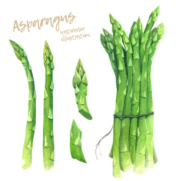 Asparagus watercolour illustration