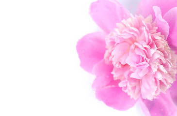 Close-up of a pink peony bud on a white background.