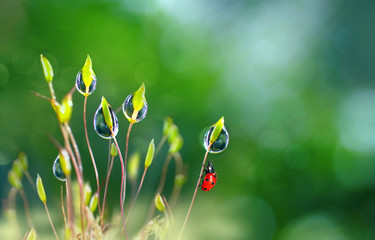 Fototapeta Beautiful large clean  droplets of morning dew and ladybug in summer spring in green grass on nature outdoors macro. Drops of water on grass, natural wallpaper, copy space. obraz