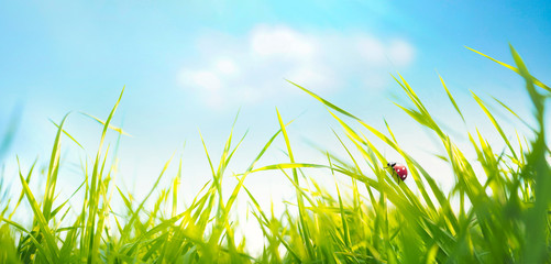 Wall Mural - Spring summer background with fresh green tall grass in wind and ladybug against a blue sky in nature, close-up macro. Wide format, copy space.