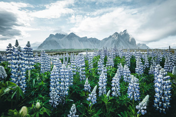 Fotomurales - Beautiful view of lupine flowers on sunny day. Location Stokksnes cape, Vestrahorn, Iceland, Europe.