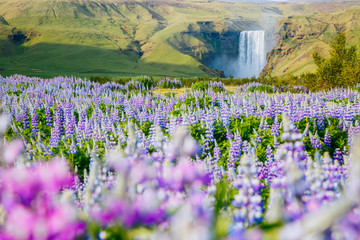 壁紙(ウォールミューラル) - Beautiful view of vivid lupine flowers. Location place Skogafoss waterfall, Iceland Europe.