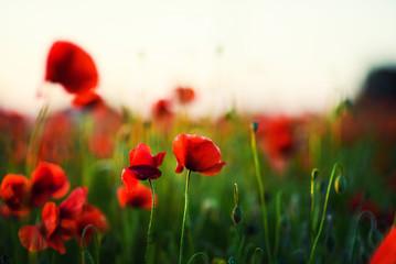 Fotobehang Klaprozen Beautiful field of red poppies in the sunset light
