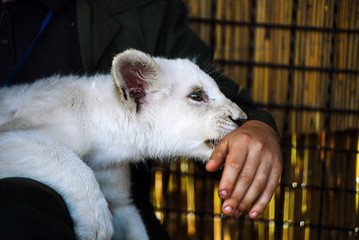 white lion cub in the hands of man