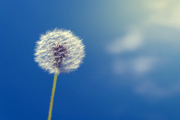 Canvas Prints Dandelion One dandelion on a background of blue sky and white clouds.