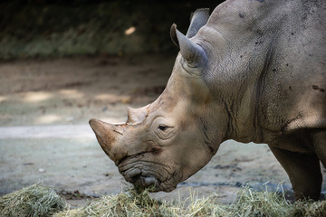 Side view of a White Rhinoceros eating hay