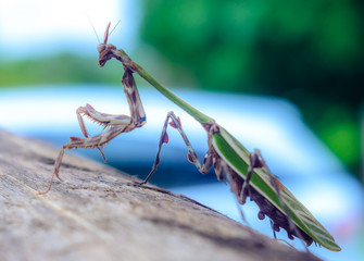Natural born predators. Mantis in a natural environment. Selected Depth of Field.