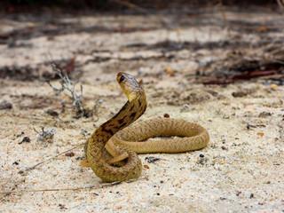 Juvenile Cape Cobra (Naja nivea) Snake