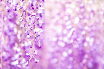 Türaufkleber Flieder 爽やかな香りを放つ藤の花