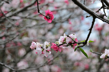 Sakura Cherry Blossom in Japan - hi-res stock photo