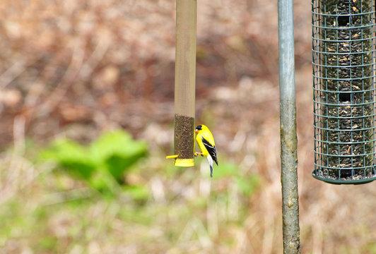 American Gold Finch on a Backyard Bird Feeder