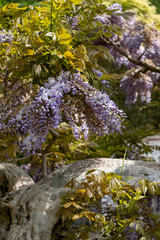 wisteria purple flowering plant flower